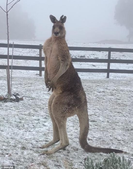 Кенгуру, кажется, дрожит, когда вокруг него падает снег - но реальная причина может удивить вас