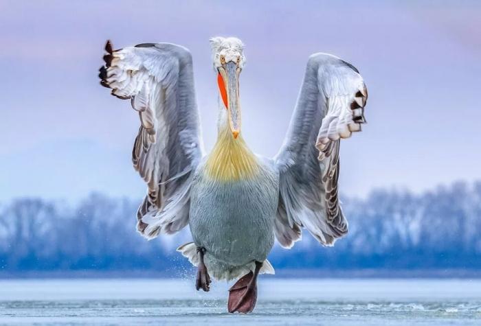Потрясающая картинка пеликана, взлетающего из ледяного озера, побеждает в номинации «Птичий фотограф года»