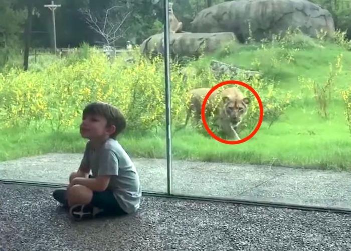 Маленький ребенок узнает, каково это, когда лев действительно хочет съесть тебя