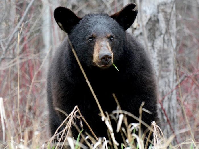 Хотите подстричься? Черный медведь забредает в парикмахерскую Альберты