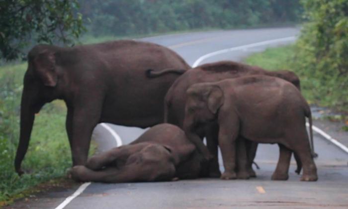 Семья слонов пытается разбудить своего дремлющего родственника