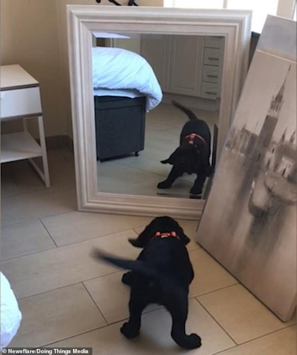Прелестный щенок лабрадора выглядит очень смущенным собственным отражением в зеркале