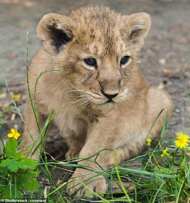Помёт редких детенышей азиатских львов родился в Эдинбургском зоопарке. Такое рождение, это спасение для исчезающих видов