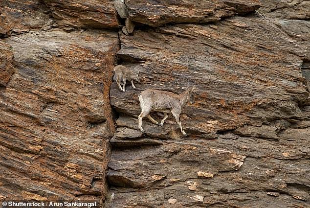 Редкий фильм, как горные козы спускаются по почти вертикальной скале, как они это делают?
