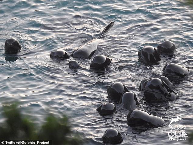 Душераздирающий момент, семья дельфинов плавает все вместе, сейчас прибудут японские охотники за китами и всех их убьют