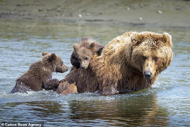 Медвежата цепляются за спину матери, когда она переносит их через озеро на Аляске