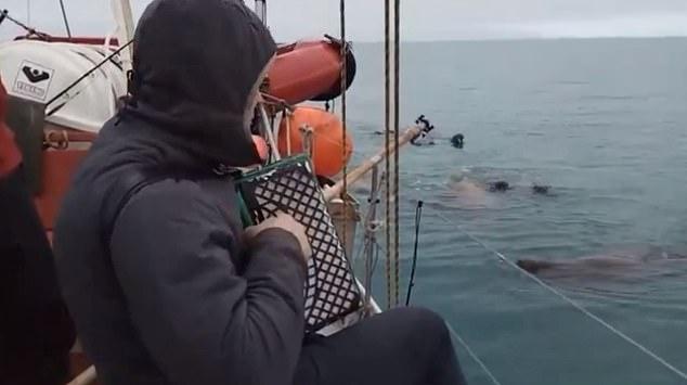 Аккордеонист вводит стадо моржей в транс, когда играет им советский вальс с судна в Северном Ледовитом океане