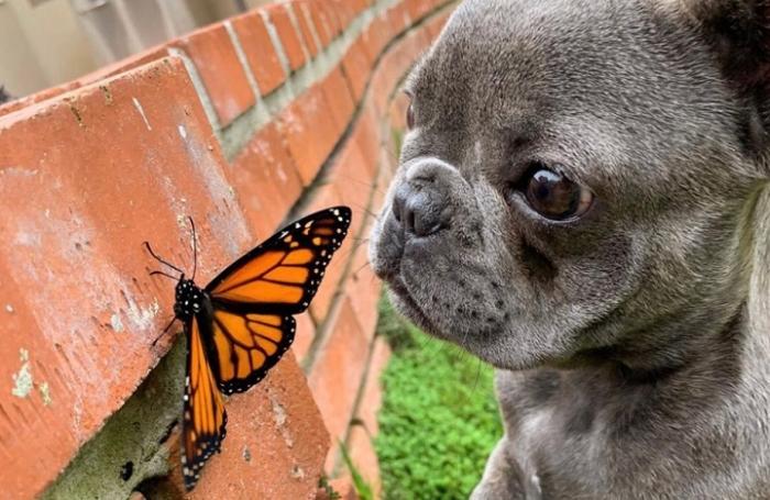 Щенок подружился с красивой бабочкой-монархом