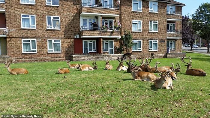 Сюрреальный момент стадо оленей захватывает жилой комплекс в Лондоне