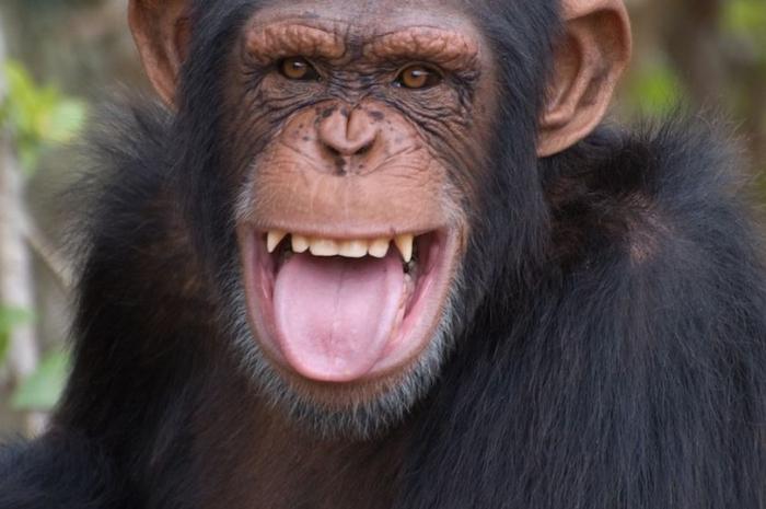 Сбежавшая шимпанзе терроризирует город в Техасе, нападая на людей и качаясь на деревьях