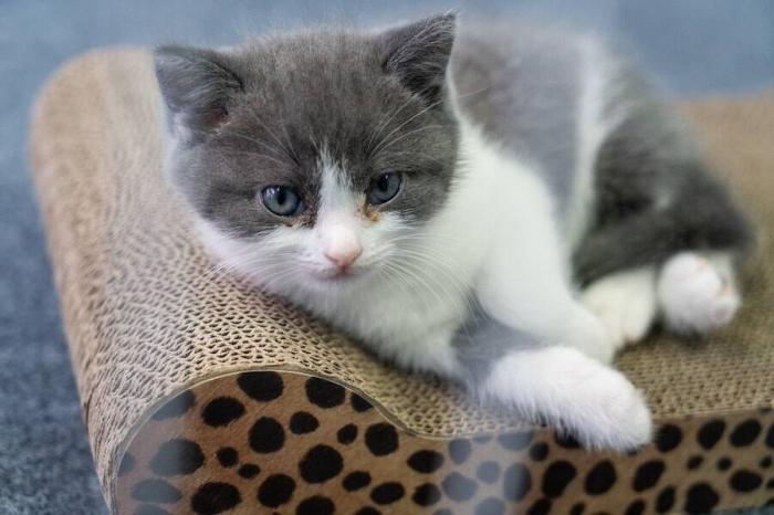 Владелец умершего кота потратил 35 000 долларов на создание первого клонированного котенка в Китае