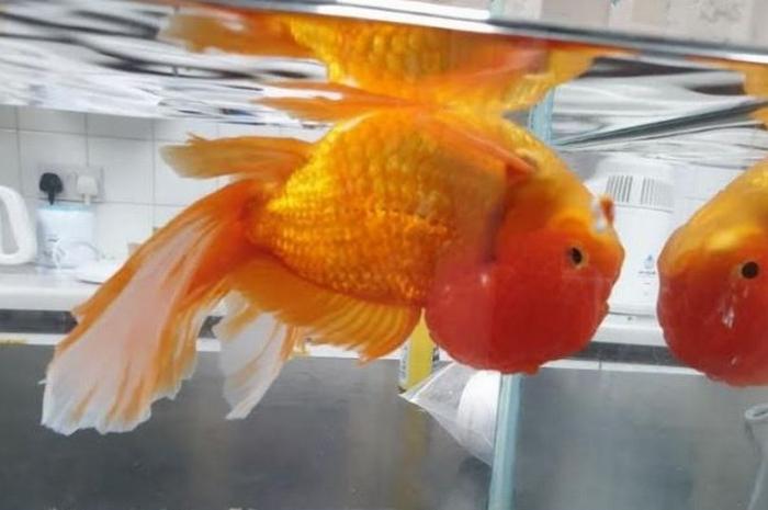 Золотую рыбку срочно «подстригли», после того как тяжелая голова стала переворачивать её