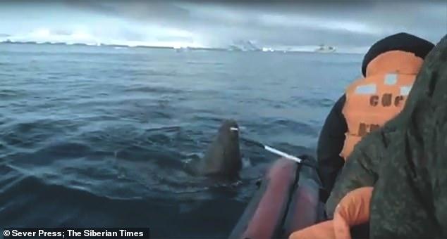 Разъяренный морж клыком пробивает резиновую лодку военных моряков. Моряки оттолкнули его шестом и сражаются за живучесть лодки