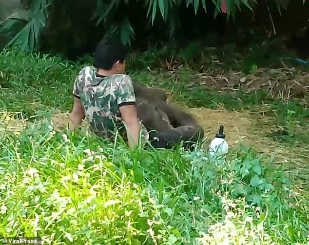 Слоненок-сирота возвращается к своему опекуну, чтобы полежать рядом с ним, когда его выпустили в дикую природу, но он был отвергнут стадом