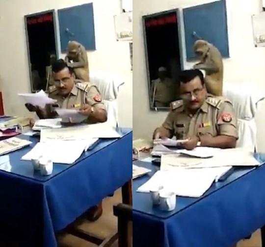 Странный момент, когда обезьяна сидит на плечах полицейского в Индии и ищет у него в волосах вшей