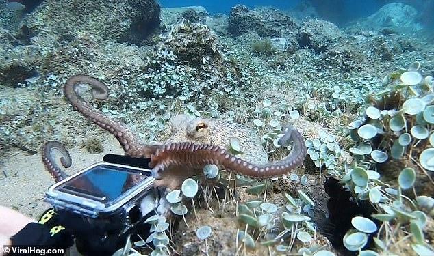 Аквалангист пытается не дать осьминогу украсть его камеру