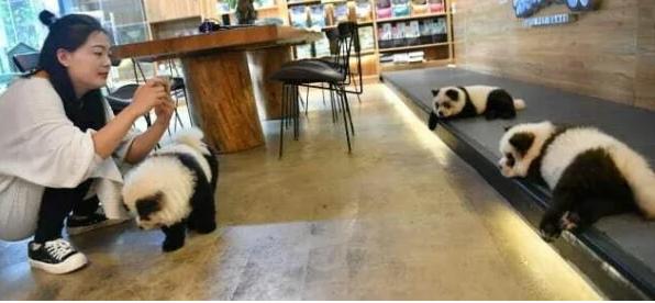 Владельцы кафе в Китае перекрасили собак в панд.
