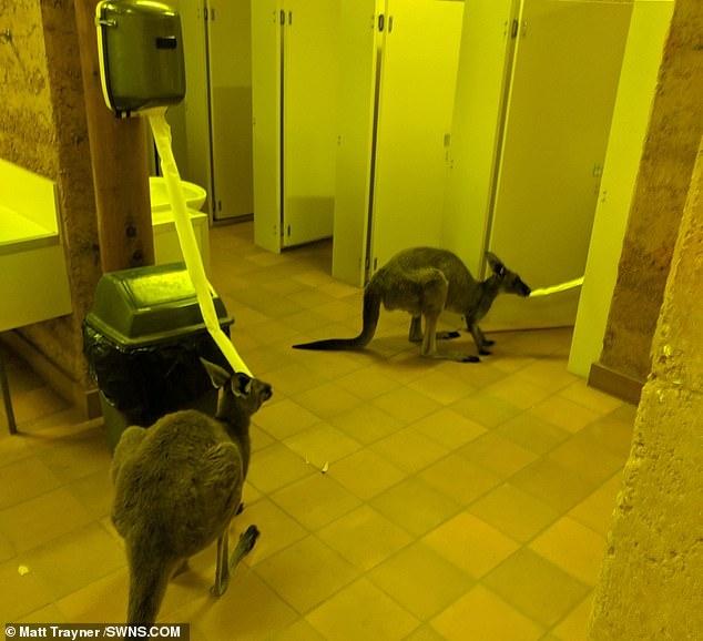 Изумленный англичанин увидел двух кенгуру, жующих рулон туалетной бумаги внутри лагерного туалета