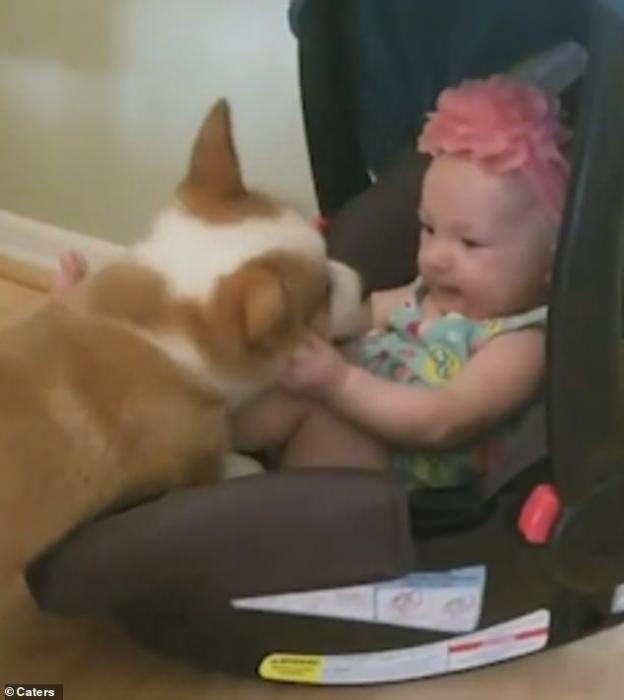 Щенок корги Уинстон впервые здоровается с малышом, встретив его в его автокресле