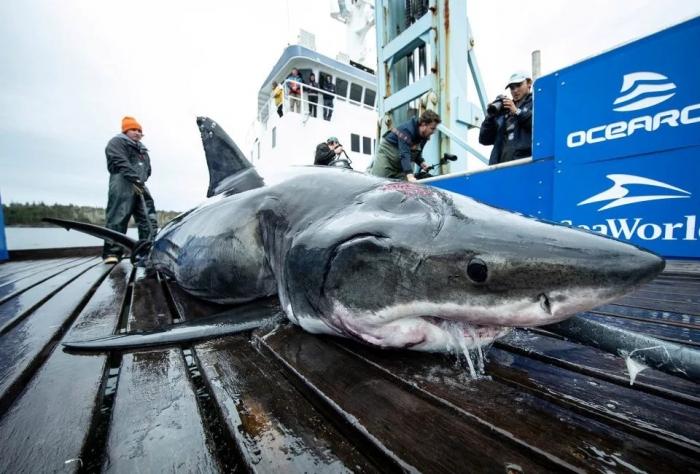 Большая 4-метровая белая акула, была найдена мёртвой с гигантскими следами от укусов
