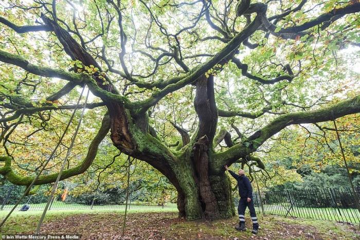 1000-летний дуб, упомянутый в Книге Судного Дня, назван английским Деревом Года