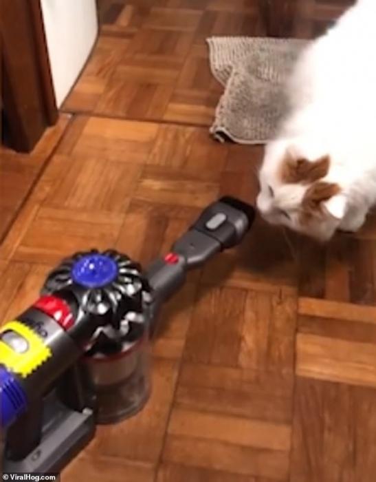 Кот-тяжеловес встречает пылесос Дайсон парой крепких ударов и шипением