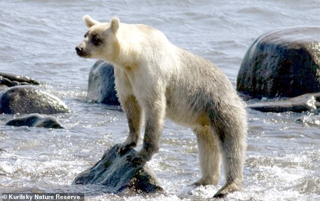 Бурые медведи начали белеть на отдаленном российском архипелаге. Они более расслаблены, чем их темноволосые родственники