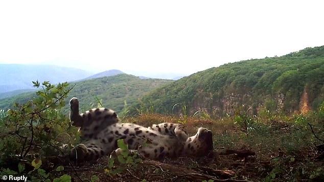 Самая редкая в мире большая кошка, амурский леопард, был снят скрытой камерой, «играющей как котенок» в России