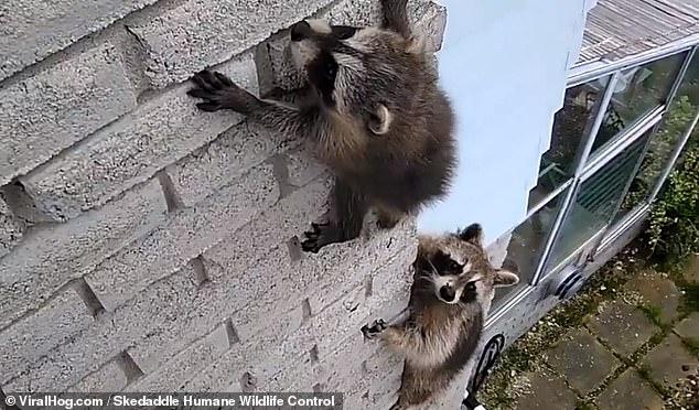 Енотиха вынуждена взобраться на кирпичную стену, чтобы забрать своего балованного ребенка, когда он застрял на стене