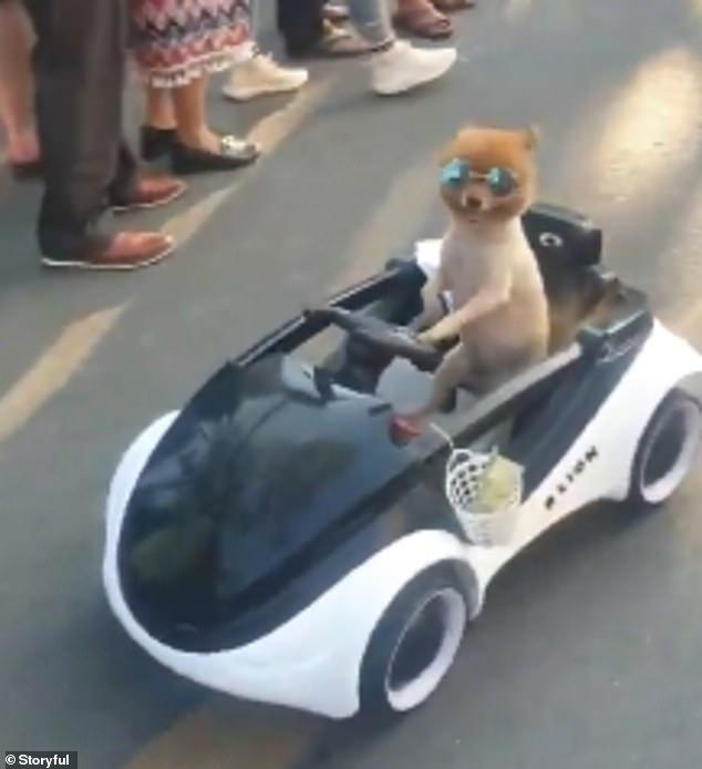 Симпатичная собака в темных очках едет на детском автомобиле по рынку в Таиланде