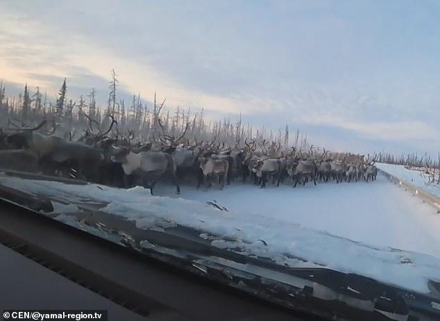 Странный момент поток из 3000 оленей останавливает движение на шоссе в Сибири