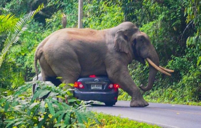 Семитонному слону так понравилась машина туриста, что он решил присесть на неё