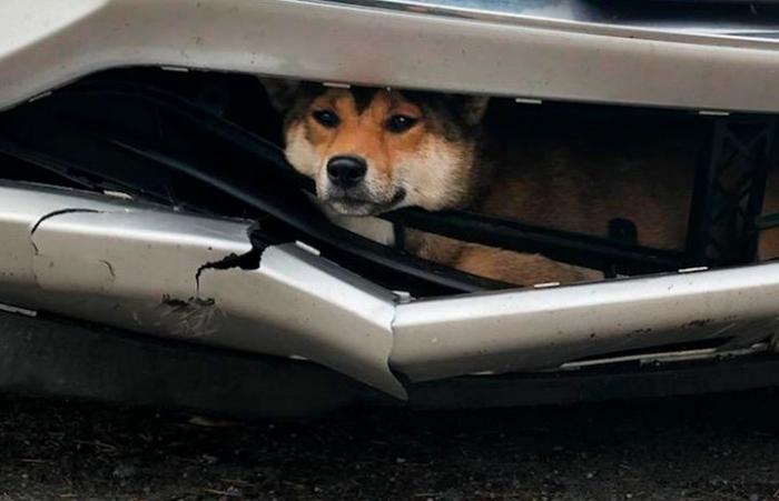 Собака, сбитая машиной, продолжила поездку внутри бампера, пока её не обнаружили
