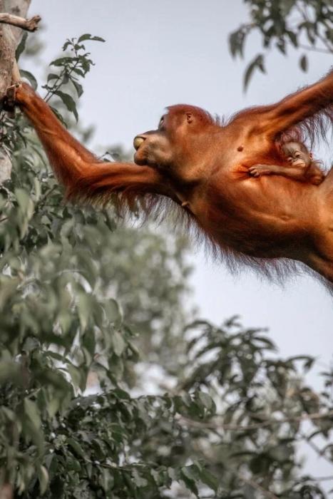 На потрясающих фото видно, как трехмесячный орангутан держится за свою мать