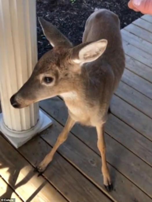 Дикий олененок находит нового приятеля в лабрадоре, после чего пара счастливо гоняются друг за другом на заднем дворе