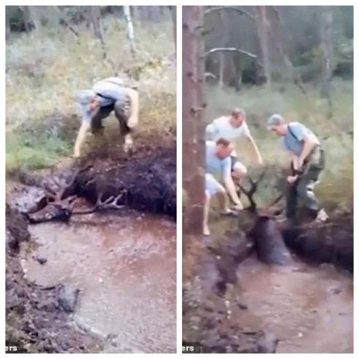 Олень уже почти утонул в болоте среди леса. Но судьба направила именно к нему 4-х мужчин, которые вытащили его. Судьба