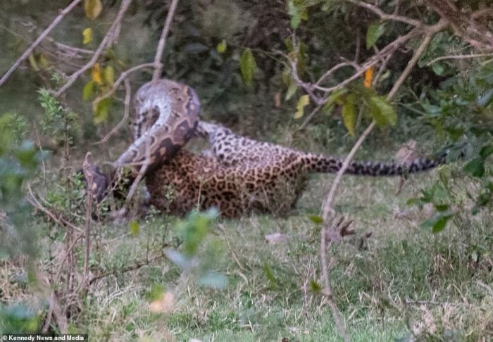 Питону леопард разбивает череп, когда тот хотел напасть на него