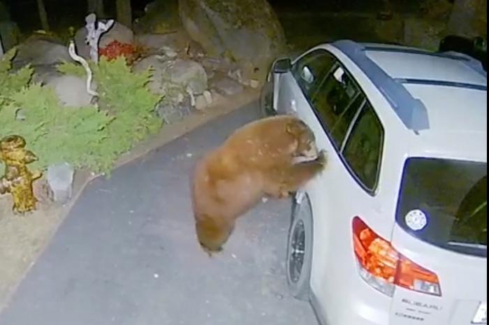 Сонный медведь открывает дверцу машины и забирается внутрь - чтобы вздремнуть