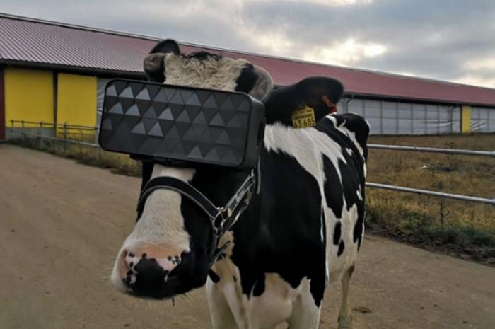 Русские коровы оснащены гарнитурами виртуальной реальности, чтобы «увеличить производство молока»