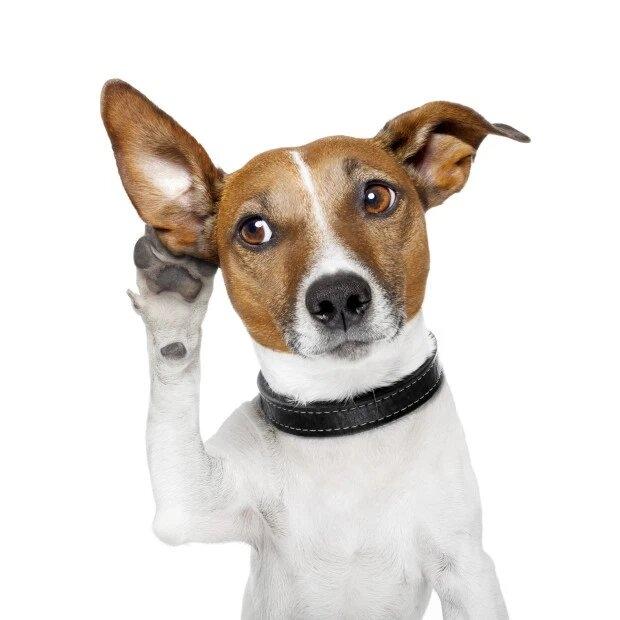 Ученые считают, что собаки могут понять любого говорящего, а не только своих владельцев