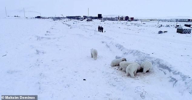 В фильме видно, как охотники отпугивают сигнальными ракетами белых медведей, когда 63 голодных зверя осадили далекую русскую деревню