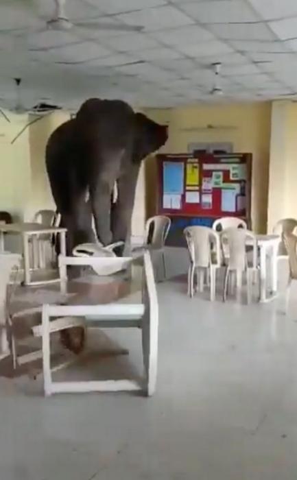 Большой слон бросает стол через всё помещение в истерике после штурма столовой