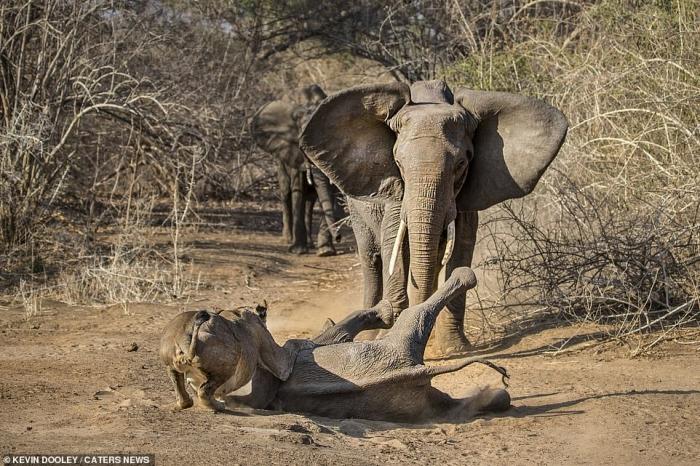 Храбрая слониха спасает своего теленка от съедения, когда она нападает на двух львиц, пытающихся убить его в Зимбабве