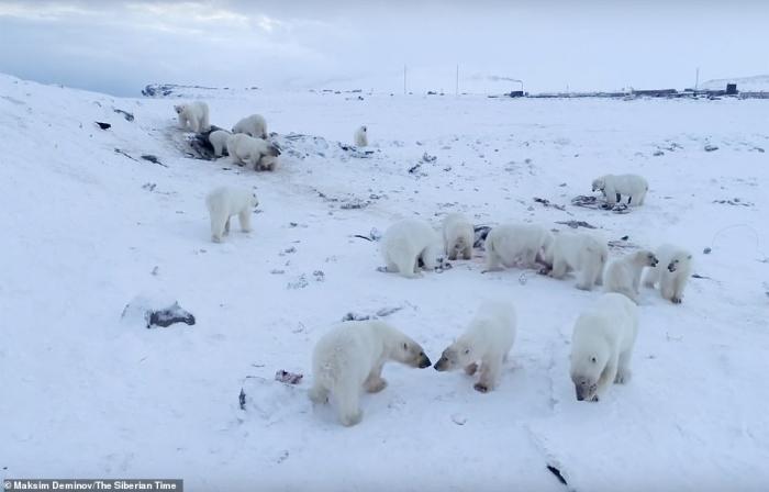 Русская деревня находится в осаде у пятидесяти шести голодных белых медведей