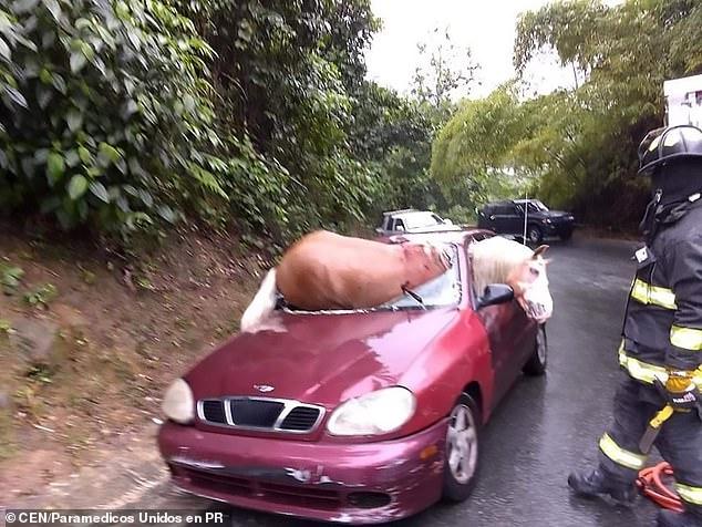 Раненая лошадь пытается спастись из разбитого автомобиля после того как разбила ветровое стекло в аварии