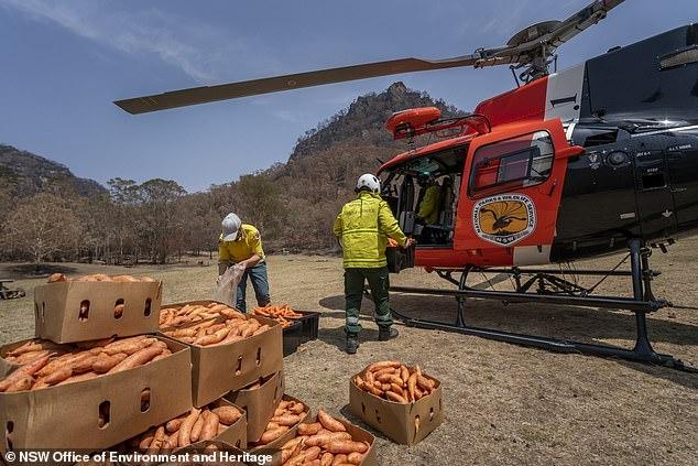 Вертолеты сбрасывают тонны сладкой картошки и морковки для зверей, голодающих в Австралии из-за лесных пожаров