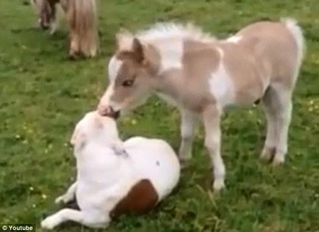 Больше, чем хорошие соседи! Аладдин миниатюрная лошадка обнюхивает и покусывает своего друга щенка Тару