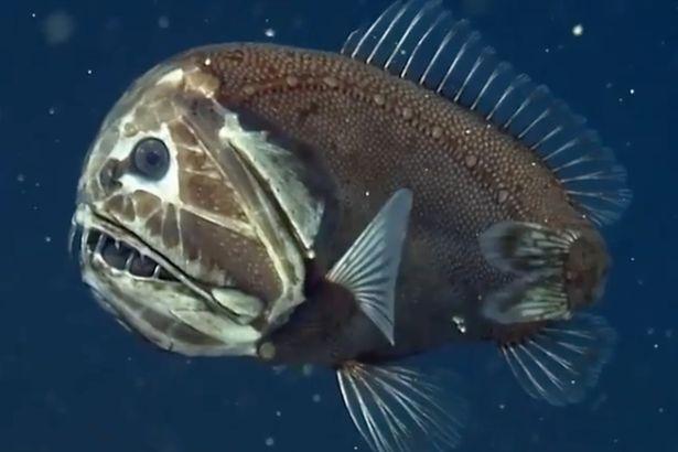 Пользователи сайта Reddit пришли в ужас от глубоководного существа с острыми как бритва зубами