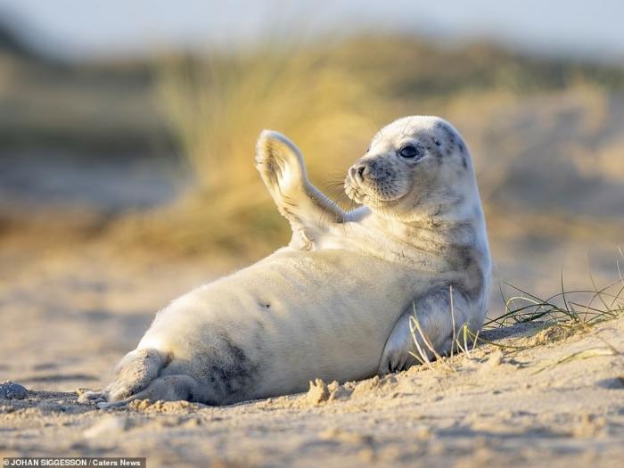 Счастливый щенок тюленя машет в камеру на очаровательной фото, сделанной на пляже в Норфолке