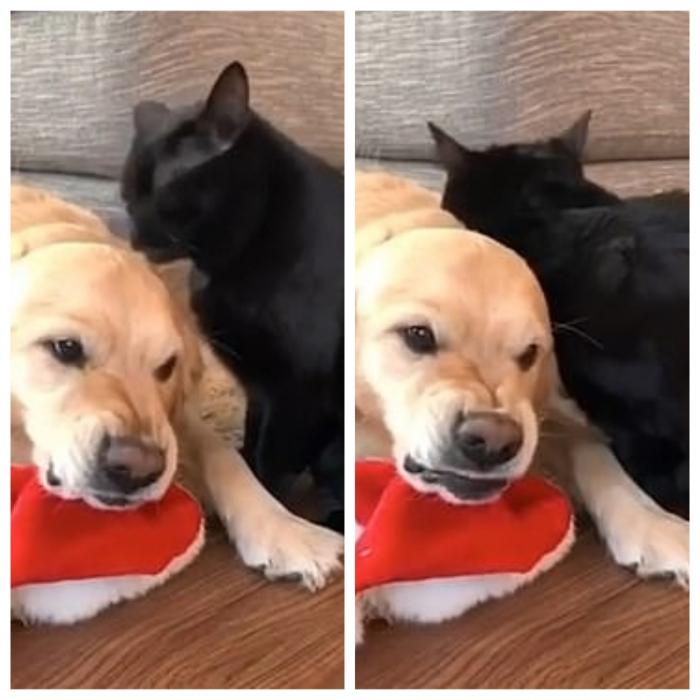 Отвали! Собака еле сдерживается в то время, как кошка продолжает ухаживать за ней каждое утро